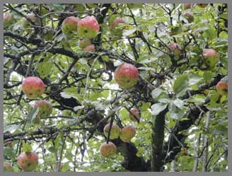 Apples on the tree - Menla Mountain Retreat and Mahasukha Spa - photo by Luxury Experience
