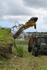Harvesting the cane