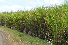 Martinique Rhum starts wtih rows of sugar cane