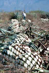 Manually Harvesting the 100 percent Blue Agave for paQui Tequila