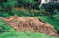 Sugar Cane cut in Brazil