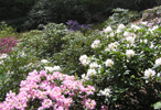Sofiero Palace and Gardens - Rhododendron