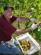 Volunteer picking grapes at Gouveia Vineyard - Photo by Luxury Experience