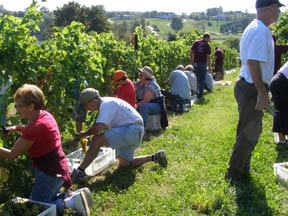 Volunteers Picking Grapes at Gouveia Vineyard - Photo by Luxury Experience