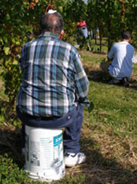 Mr. Fattore picking grapes att Gouveia Vineyard - Photo by Luxury Experience