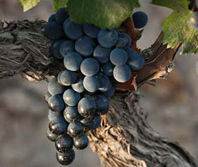 Malbec Grapes from Argentina