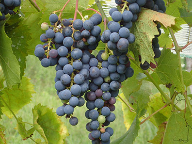 Mermaid Hill Vineyards - Marquette Grapes - Conccord, NH - photo by Luxury Experience