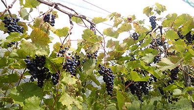 Marquette grapes - Mermaid Hill Vineyard - Concord, NH - photo by Luxury Experience